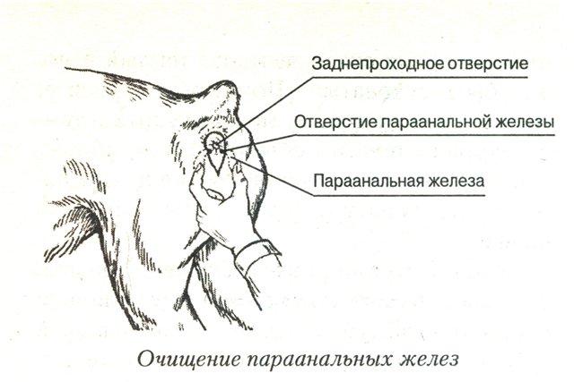 mops-lizhet-pod-hvostom
